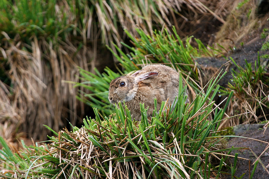 Rabbit chewing on Poa Tussock, Macquarie Island, Antarctica