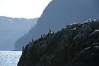 Pelagic Cormorants (Phalacrocorax pelagicus) and Black-legged Kittiwakes (Rissa tridactila) perch on a rock near Knight Island, Prince William Sound, Southcentral Alaska fon a sunny Spring evening in early May.