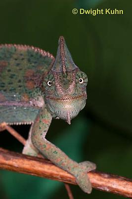 CH51-537z  Female Veiled Chameleon in display color, note eye rotation, Chamaeleo calyptratus