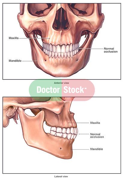 Normal Anatomy of the Jaw Bone (Mandible)