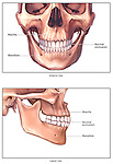 Normal Anatomy of the Jaw Bone (Mandible)
