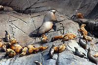 Steller's Sea Lions AK