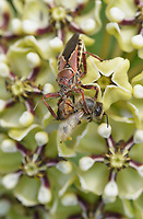 Bee Assassin Bug (Apiomerus crassipes), adult feeding on Honey Bee (Apis mellifera) on Antelope horn (Asclepias asperula) , Hill Country, Central Texas, USA