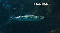 TP13-502z  Great Barracuda, Sphyraena barracuda