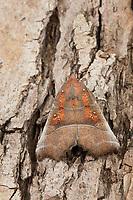 Zackeneule, Zimteule, Krebssuppe, Orangefarbene Zackeneule, Scoliopteryx libatrix, herald, La Découpure, Eulenfalter, Noctuidae, noctuid moths, noctuid moth