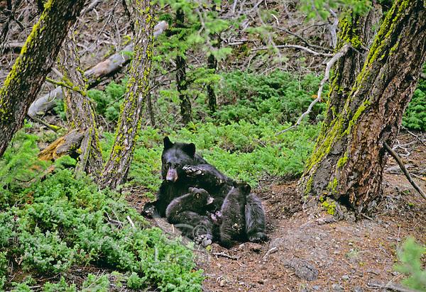 Black Bear sow nursing young cubs.  Western U.S., May.