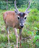 0528-1111  Central American White-tailed Deer, Belize, Male Deer with Velvet Antlers (antlers growing in soft cartilaginous state), Odocoileus virginianus truei  © David Kuhn/Dwight Kuhn Photography