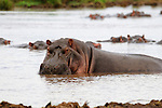 A hippopotamus, Hippopotamus amphibius, from Africa stays cool in the water during the day in the hot East African climate.