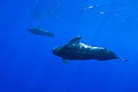 Short-finned Pilot Whales, Globicephala macrorhynchus, bull - large male in front, off Kona Coast, Big Island, Hawaii, Pacific Ocean