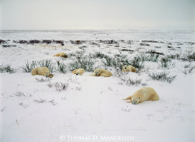 A family of Polar Bears gather together in the snow to rest.