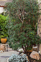 Comarostaphylis diversifolia, Summer Holly, evergreen shrub in California native plant garden; Vincent Garden