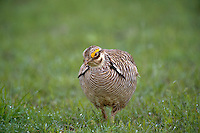 572110271 a wild lesser prairie chicken tympanuchus pallidicintus displays and struts on a lek on a remote ranch near canadian in the texas panhandle