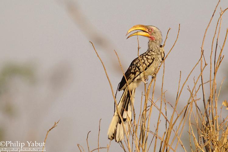 "Southern yellow-billed hornbill, a.k.a. the ""flying banana"" (Tockus leucomelas), Hwange National Park, Zimbabwe"