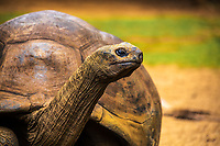 Giant turtle (from the Seychelles) close-up portrait in Mauritius Island, Africa