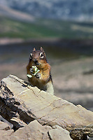 Golden-mantled Ground Squirrel eating small wildflower.  Northern Rockies.  Summer.
