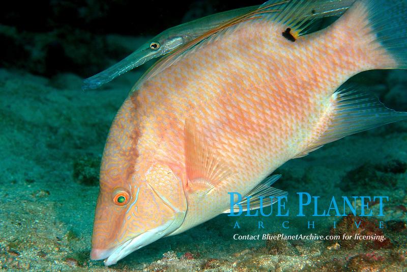Hogfish (Lachnolaimus maximus) and Trumpetfish (Aulostomus maculatus) hunting cooperatively, Boynton Beach, Florida, USAA Atlantic Ocean