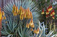 Aloe 'Moonglow' flowering succculent in Gerhard Bock garden in front of Yucca rostrata'Saphire Skies'