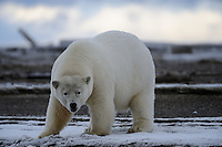 A polar bear looks up while on a barrier island outside Kaktovik, Alaska. Every fall, polar bears gather near the community, on the northern edge of ANWR, waiting for the Arctic Ocean to freeze. The bears have become a symbol of global warming.