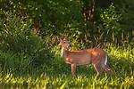 White-tailed doe in a summer field in northern Wisconsin.