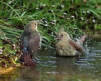 Two juvenile Cardinals bathing at first light..