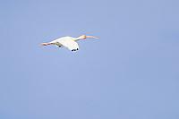 A white heron flies or egret in the La Cruz estuary in Kino viejo, Sonora, Mexico. bird, birds, bird, birds<br /> (Photo: Luis Gutierrez / NortePhoto.com).<br /> <br /> Una Garza blanca vuela o garceta  en el estero La Cruz en Kino viejo, Sonora, Mexico. ave, aves, pajaro, pajaros<br /> (Photo: Luis Gutierrez / NortePhoto.com).
