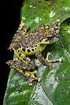 Mossy Tree Frog (Rhacophorus everetti). Active at night along side mountain stream. Mt Kinabalu, (at 1400m asl), Sabah, Borneo.