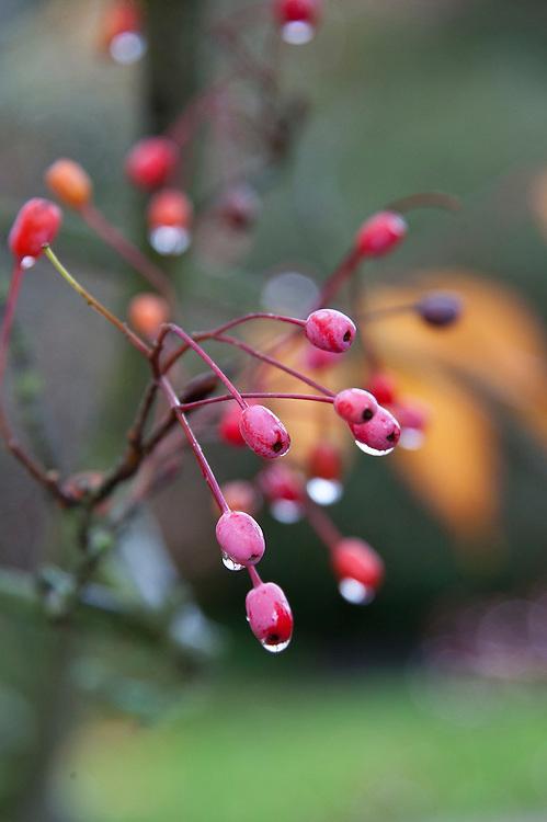 Alder-leafed whitebeam (Sorbus alnifolia), end October. Also known as the Korean mountain ash or Korean whitebeam.