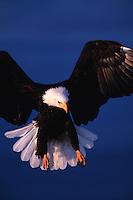 A Bald eagle (Haliaeetus leucocephalus) landing.