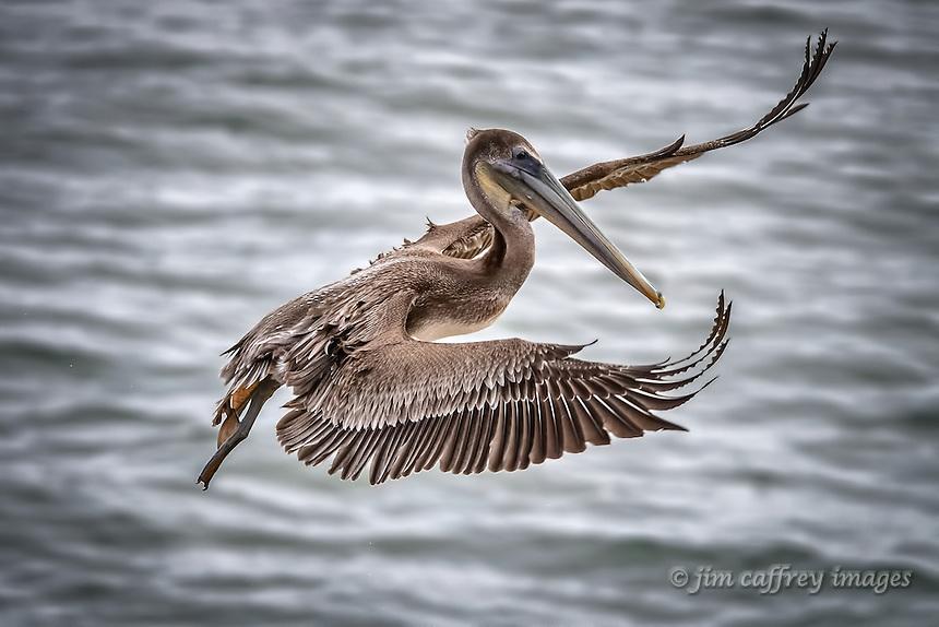 A juvenile Brown Pelican in flight at La Jolla Cove near San Diego, California.