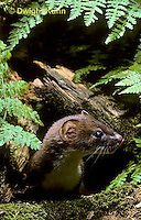 MA21-021z   Long-Tailed Weasel - summer brown coat - Mustela frenata