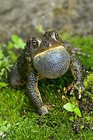 American Toad expands throat sac to make mating call in Spring.  May. Lake Ontario, Ontario.