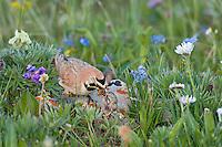 Male Horned Lark or Shore Lark (Eremophila alpestris) feeding young at nest.  Western U.S., Summer.