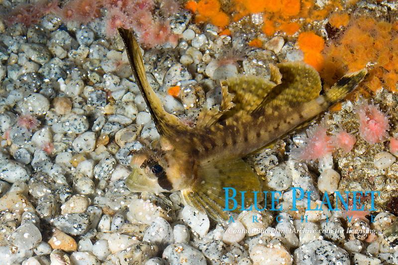 Sailfin Sculpin (Nautichthys oculofasciatus)(c)