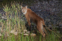 Siberian Lynx walking out of a pond looking back over its shoulder - CA