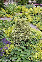 Alchemilla mollis in bloom, Salvia, Variegated Buxus boxwood, stone walkway path
