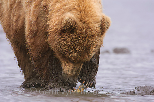 "Adult Grizzly Bear (Ursus arctos) of the coastal ""Brown Bear"" type opening a razor clam on a tidal flat. Lake Clark National Park. Alaska. June."