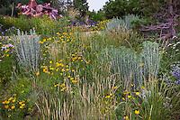 Wheat grass (Agropyron or Pascopyrum smithii) in Colorado meadow garden with yellow flower Mexican Hat (Ratibida columnifera), Panicum virgatum 'Shenandoah' and Chamisa (Rabbitbrush); design by Tom Peace