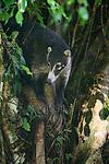 White-nosed Coati or coatimundi (Nasau narica) climbing / investgating a tree trunk. Lowland rainforest, Pacific Slope. Bosque de Cabo, Osa Peninsula near Corcovado National Park, Costa Rica, Central America.