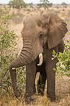 African Elephant (Loxodonta africana) bull resting trunk on tusk, Kruger National Park, South Africa