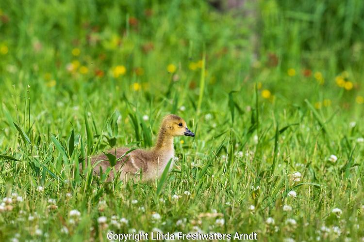 Gosling walking in a northern Wisconsin meadow.