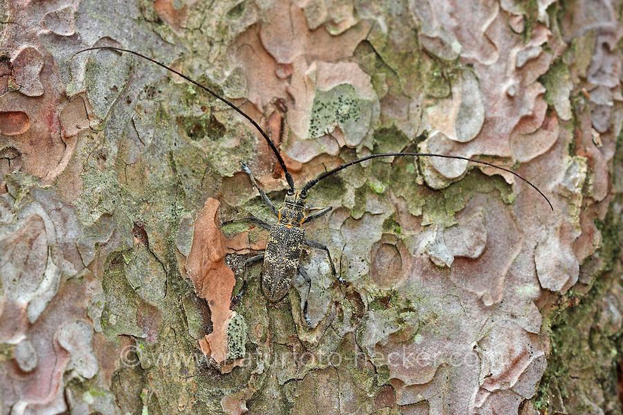 Bäckerbock, Gefleckter Langhornbock, Monochamus galloprovincialis, timberman beetle, pine sawyer beetle, monochame