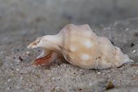 Pelikanfuß, Pelikanfuss, Aporrhais pespelecani, Aporrhais pespallecani, common pelican's foot, le pied de pélican