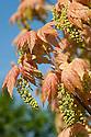 Acer pseudoplatanus 'Brilliantissimum', mid April.