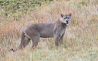"""This big dark male, which our guides nicknamed """"Oscuro"""" (literally, """"dark""""), won the affection of a female puma in heat during our visit.  He was the darkest puma I've ever seen."""