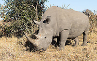 """We felt fortunate to see a few white rhinos during our trip. They continue to be poached for their horns (which, despite being made of the same stuff in my fingernails, have """"magical powers"""" in some cultures)."""