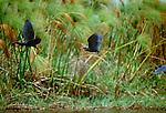 Black egrets, Africa