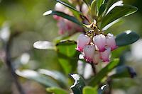 Echte Bärentraube, Immergrüne Bärentraube, Arctostaphylos uva-ursi, kinnikinnick, pinemat manzanita, bearberry, mountain cranberry