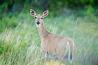 Female White-tailed Deer (Odocoileus virginianus) led her fawn across the road and paused to look back at us. Wildlife Loop Road, Custer State Park, The Black Hills, South Dakota.