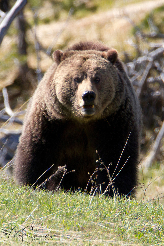 Yellowstone is Grizzly country. This Grizzly bear (Ursus arctos horribilis)<br /> is a top predator. An omnivore who eats both meat and plants he is constantly in search of food. He is looking right at the camera here, but he actually was quite a long way away.