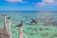 Black noddy birds on a bungalow deck, flying above the turquoise lagoon in Moorea island, French Polynesia, South Pacific Ocean